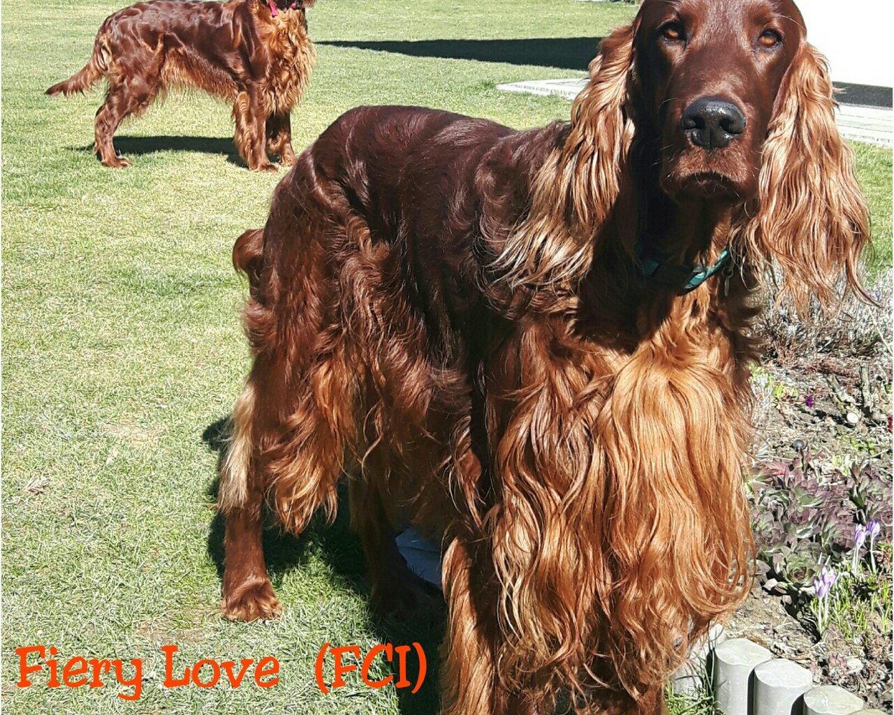 FIERY LOVE (FCI) Promowane hodowle - WORLDPETNET #12